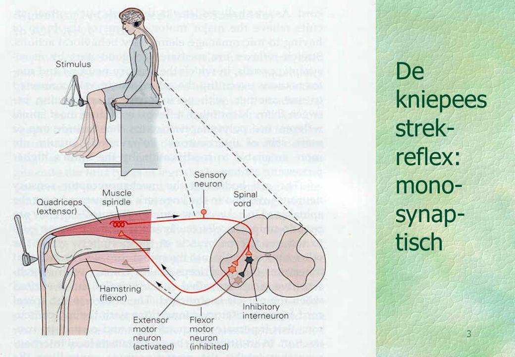 18-09-004 De strek reflex 1 §Strekken van de spier  receptor- potentiaal in DRG-senso- risch neuron §Intensiteit S (:) Amplitud §  AP bij triggerzone §  release NT  post- synaptische potentiaal