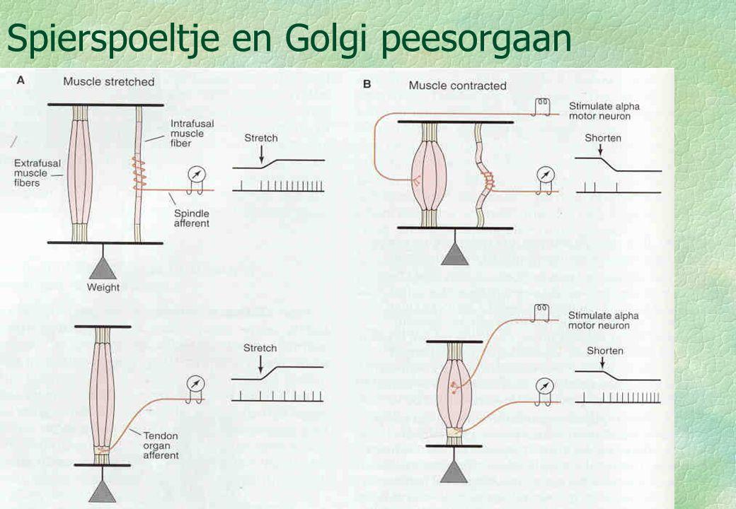 18-09-0010 Functie gamma motorneuronen §Alfa- gamma coactivatie