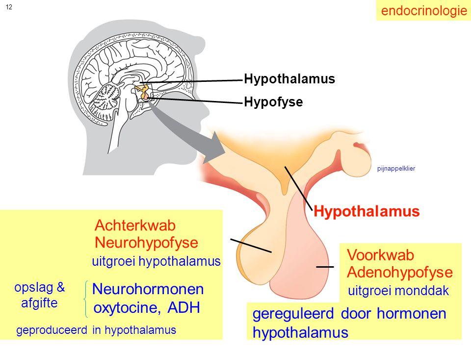 12 Achterkwab Neurohypofyse Voorkwab Adenohypofyse Hypothalamus Hypofyse Hypothalamus uitgroei hypothalamus uitgroei monddak Neurohormonen oxytocine,