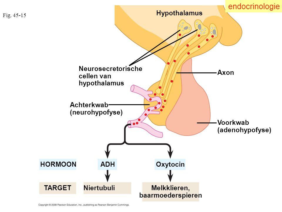 Fig. 45-15 Achterkwab (neurohypofyse) Voorkwab (adenohypofyse) Neurosecretorische cellen van hypothalamus Hypothalamus Axon HORMOON Oxytocin ADH Niert