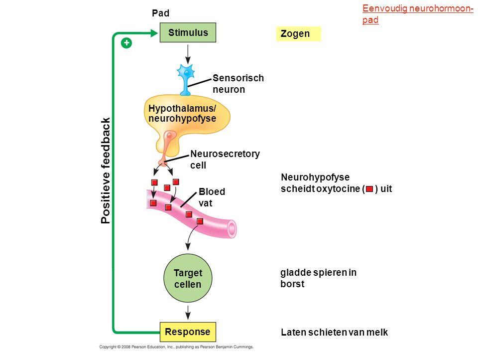 Pad Stimulus Hypothalamus/ neurohypofyse Positieve feedback Sensorisch neuron Neurosecretory cell Bloed vat Neurohypofyse scheidt oxytocine ( ) uit Ta
