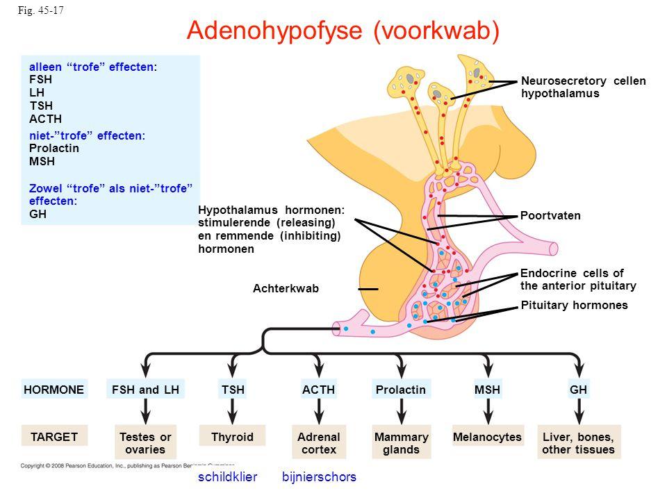 Fig. 45-17 Hypothalamus hormonen: stimulerende (releasing) en remmende (inhibiting) hormonen Neurosecretory cellen hypothalamus HORMONE TARGET Achterk
