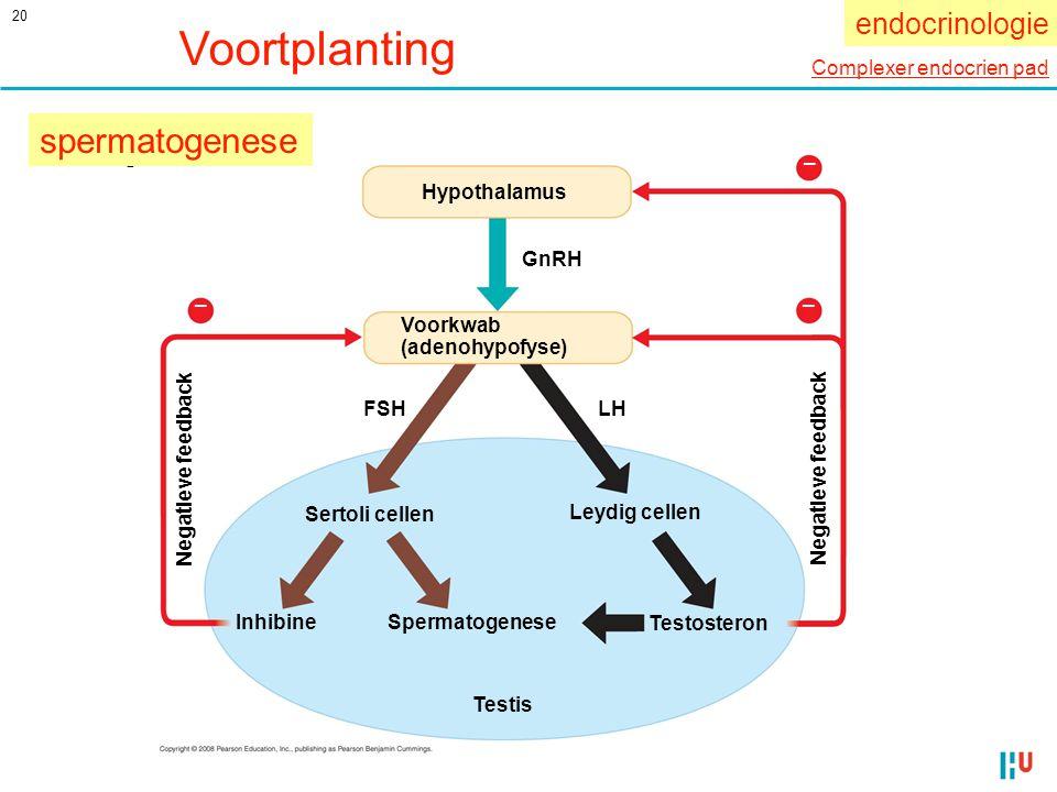 20 Fig. 46-13 Hypothalamus GnRH FSH Voorkwab (adenohypofyse) Sertoli cellen Leydig cellen Inhibine Spermatogenese Testosteron Testis LH Negatieve feed