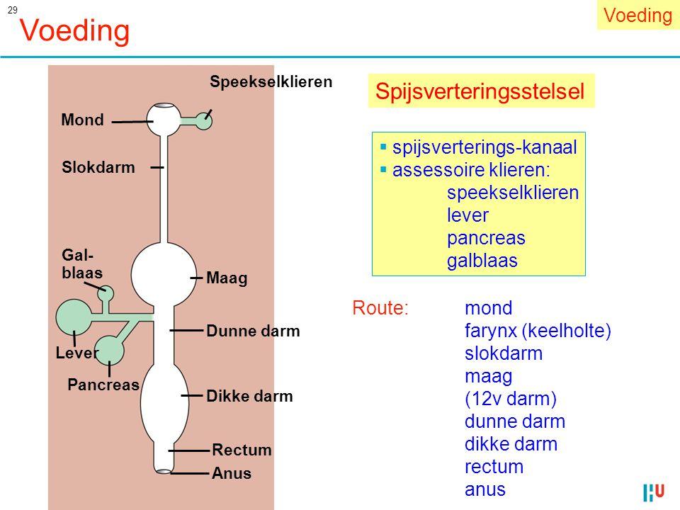 29 Voeding Spijsverteringsstelsel Anus Lever Pancreas Dunne darm Dikke darm Rectum Maag Gal- blaas Slokdarm Speekselklieren Mond  spijsverterings-kan