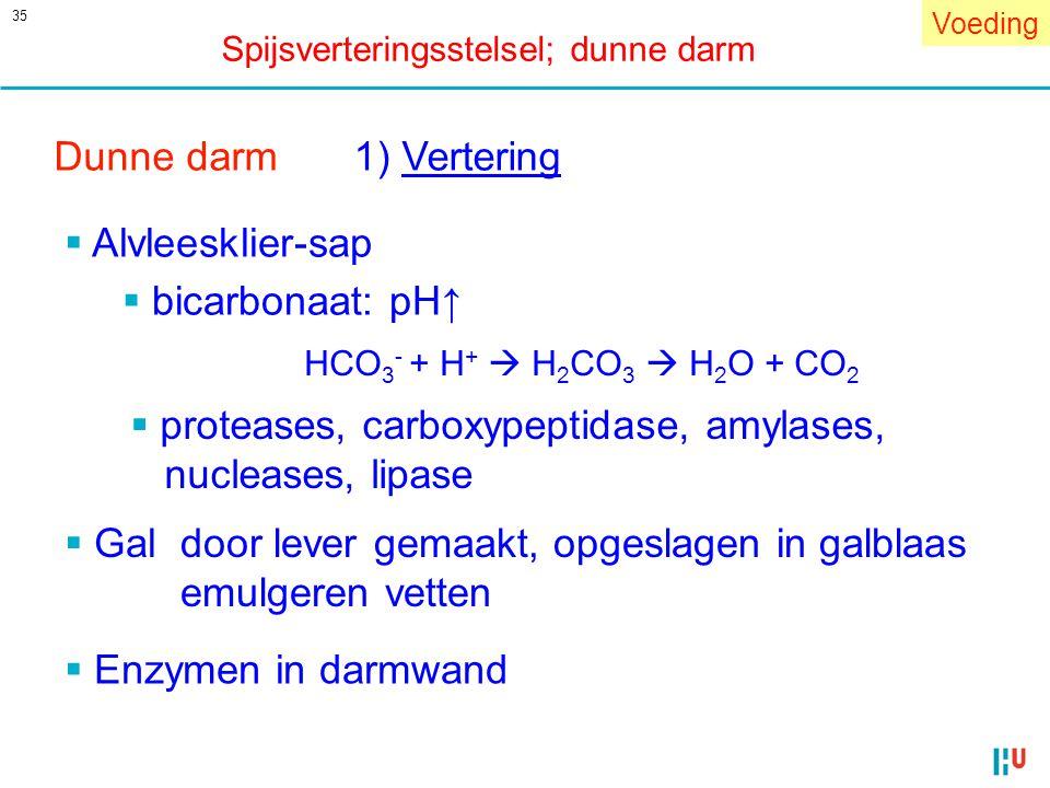 35 Dunne darm1) Vertering  Alvleesklier-sap  bicarbonaat: pH↑ HCO 3 - + H +  H 2 CO 3  H 2 O + CO 2  proteases, carboxypeptidase, amylases, nucle