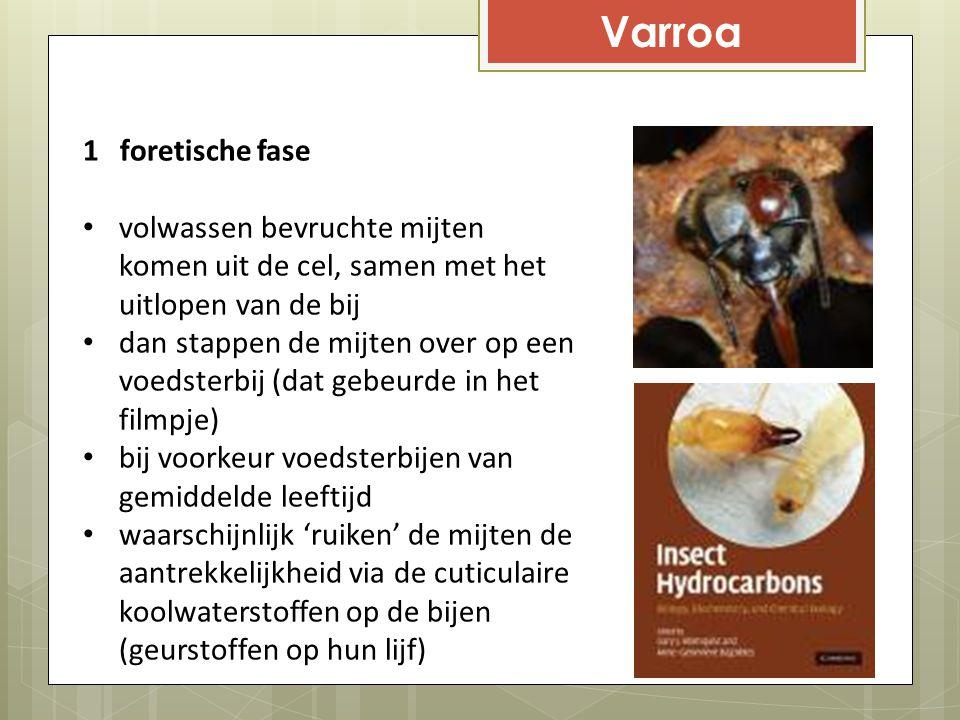Varroa 1 foretische fase volwassen bevruchte mijten komen uit de cel, samen met het uitlopen van de bij dan stappen de mijten over op een voedsterbij