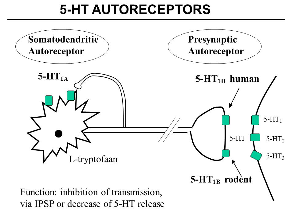 5-HT 5-HT 1D human Somatodendritic Autoreceptor Presynaptic Autoreceptor 5-HT 1A Function: inhibition of transmission, via IPSP or decrease of 5-HT release 5-HT 1B rodent 5-HT AUTORECEPTORS L-tryptofaan 5-HT 1 5-HT 3 5-HT 2