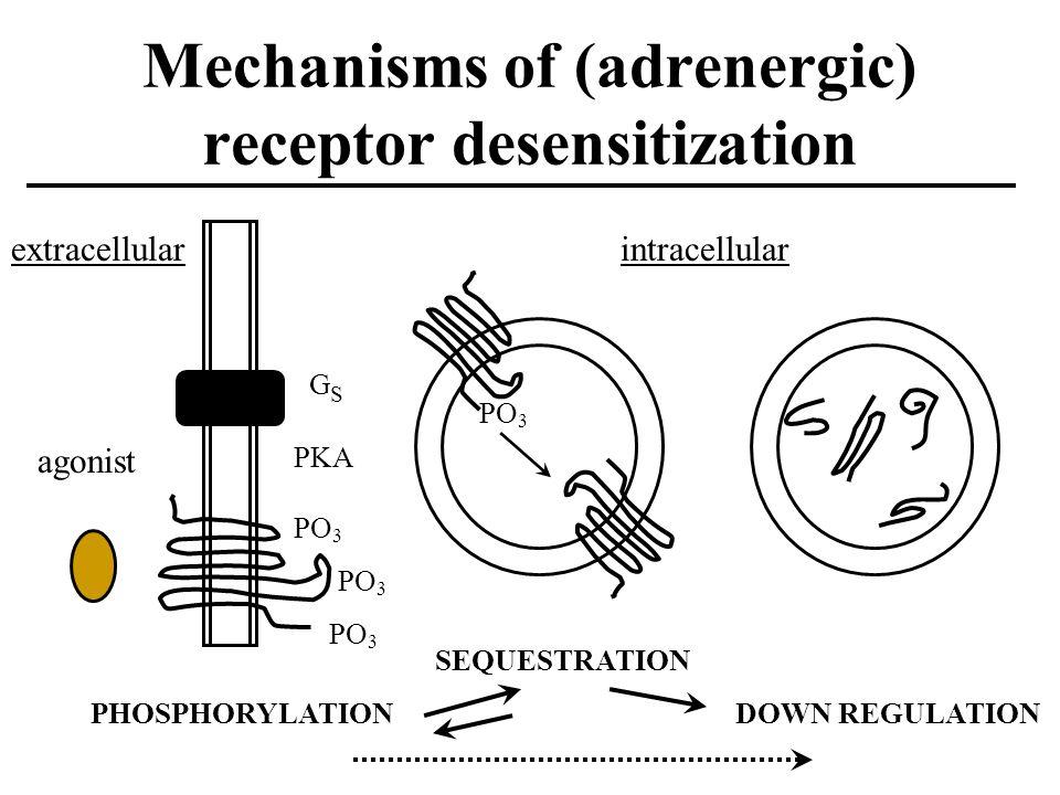 Mechanisms of (adrenergic) receptor desensitization PO 3 GSGS extracellular agonist PO 3 PHOSPHORYLATION SEQUESTRATION DOWN REGULATION intracellular PKA