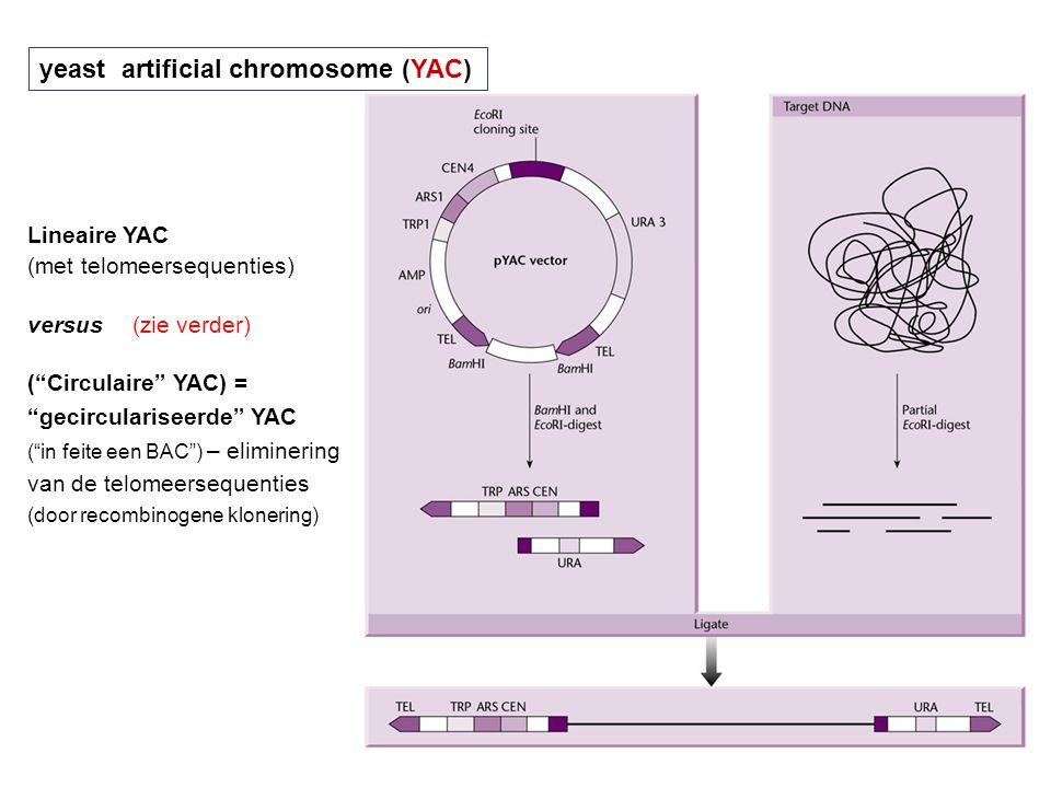 """yeast artificial chromosome (YAC) Lineaire YAC (met telomeersequenties) versus(zie verder) (""""Circulaire"""" YAC) = """"gecirculariseerde"""" YAC (""""in feite een"""
