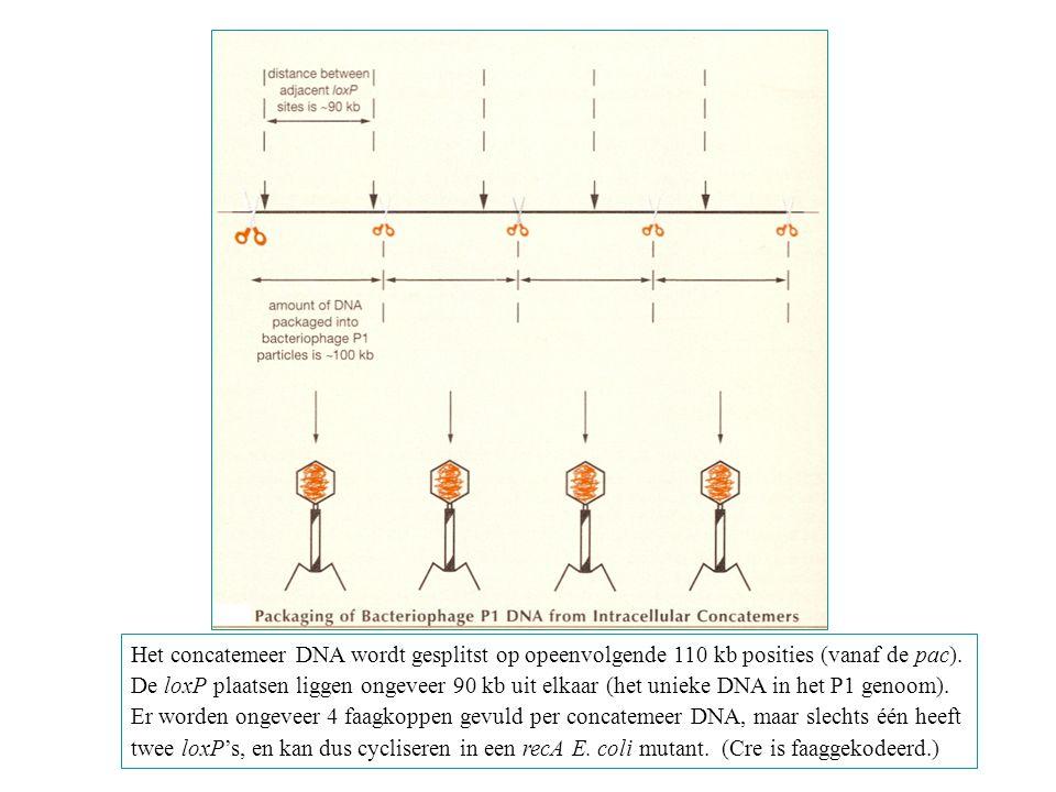 Het concatemeer DNA wordt gesplitst op opeenvolgende 110 kb posities (vanaf de pac). De loxP plaatsen liggen ongeveer 90 kb uit elkaar (het unieke DNA