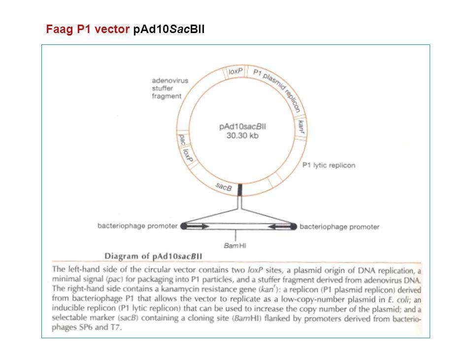 Kenmerken 2 loxP sequenties pac sequentie: verpakking in P1 faagpartikels kan r : kanamycineresistentiegen P1 plasmide-replicon : circulair DNA aan ~1 kopij/cel P1 lytisch replicon ('lytisch replicon') : onder controle van de lac promoter (induceerbaar met IPTG) : plasmide-amplificatie vóór DNA-isolatie sacB: positieve selectiemerker voor klonen met insert-DNA (BamHI-site) met faag SP6 en T7 promoter