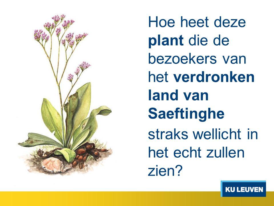 Hoe heet deze plant die de bezoekers van het verdronken land van Saeftinghe straks wellicht in het echt zullen zien?