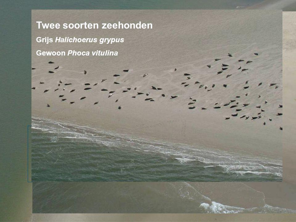 Identificatie Kop Neusgaten: Vacht: Grijze zeehond (Halichoerus grypus) Ad m ~2.5 m v~2 m Gewone zeehond (Phoca vitulina) Ad m & v <2 m