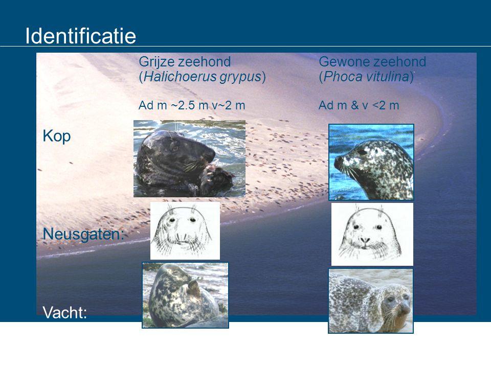 The Netherlands Germany Denmark Lower Saxony Hamburg Schleswig- Holstein Zeehonden tellen: zeehonden op de kant NL deel van de Wadden Sea populatie - Standardisatie en synchronisatie van de survey zijn essentieel (tri- lateraal overleg) - Haul-out (het op de kant komen) wordt beïnvloed door omgevingsfactoren en seizoens patroon