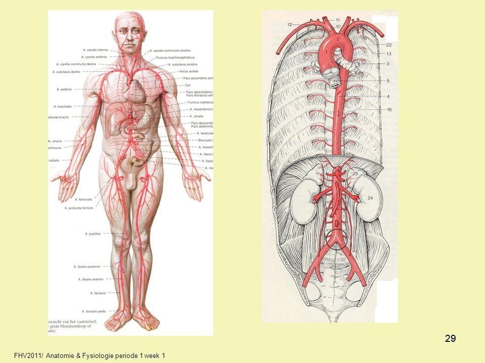 FHV2011/ Anatomie & Fysiologie periode 1 week 1 29