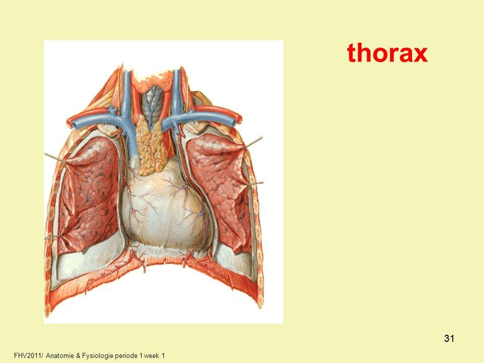 FHV2011/ Anatomie & Fysiologie periode 1 week 1 31 thorax 31