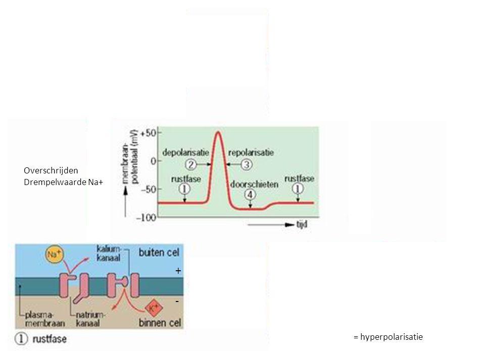 Impulsgeleiding Impuls = elektrisch stroompje ontstaat als prikkel sterk genoeg is – boven de prikkeldrempel impulssterkte is altijd gelijk bij sterkere prikkel worden meer impulsen per tijdeenheid doorgegeven - de impulsfrequentie neemt toe zenuwcel heeft na ieder impuls een korte herstelperiode nodig; kan dan niet geprikkeld worden Impulsfrequentie neemt af als bepaalde prikkel lang aanhoudt (gewenning)