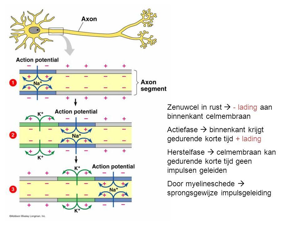 Zenuwcel in rust  - lading aan binnenkant celmembraan Actiefase  binnenkant krijgt gedurende korte tijd + lading Herstelfase  celmembraan kan gedur