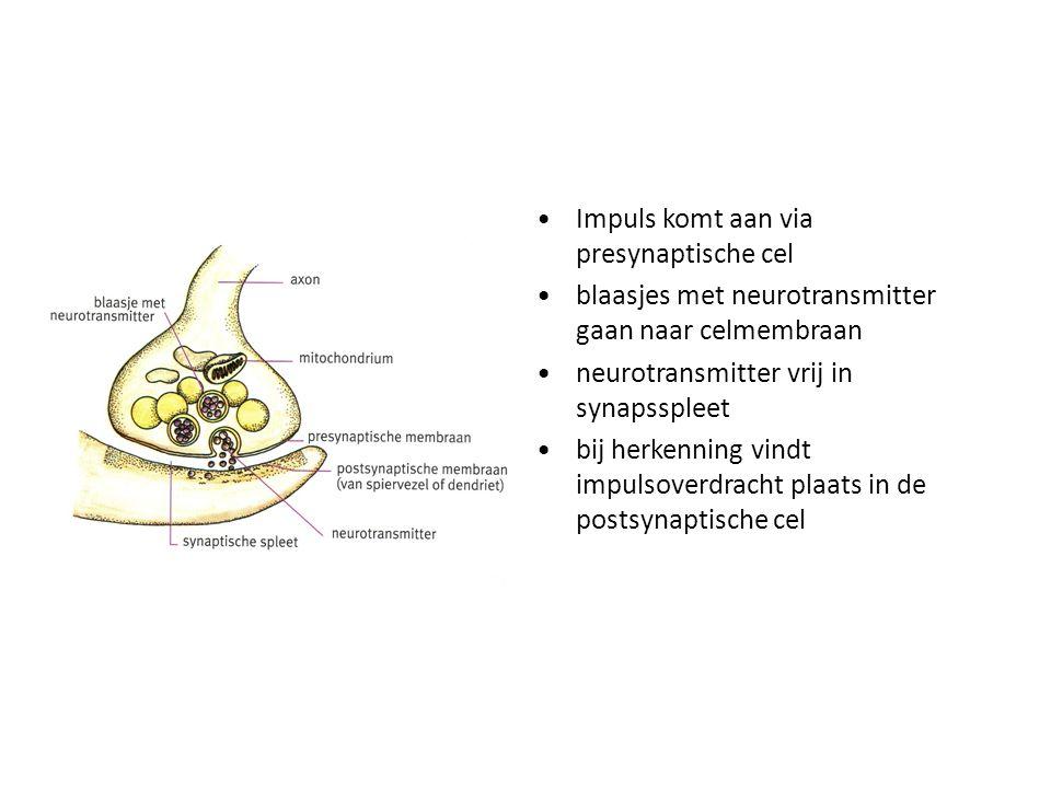 Impuls komt aan via presynaptische cel blaasjes met neurotransmitter gaan naar celmembraan neurotransmitter vrij in synapsspleet bij herkenning vindt
