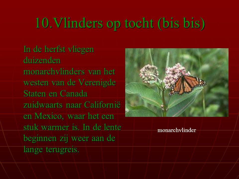 10.Vlinders op tocht (bis bis) In de herfst vliegen duizenden monarchvlinders van het westen van de Verenigde Staten en Canada zuidwaarts naar Californië en Mexico, waar het een stuk warmer is.