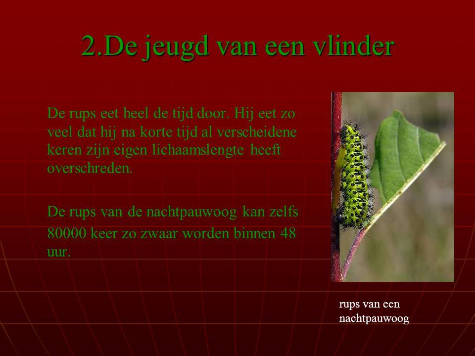 2.De jeugd van een vlinder De rups eet heel de tijd door.