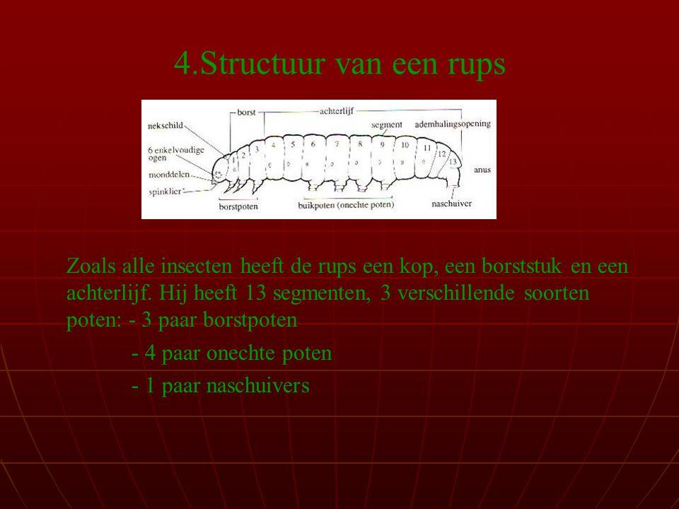 4.Structuur van een rups Zoals alle insecten heeft de rups een kop, een borststuk en een achterlijf.