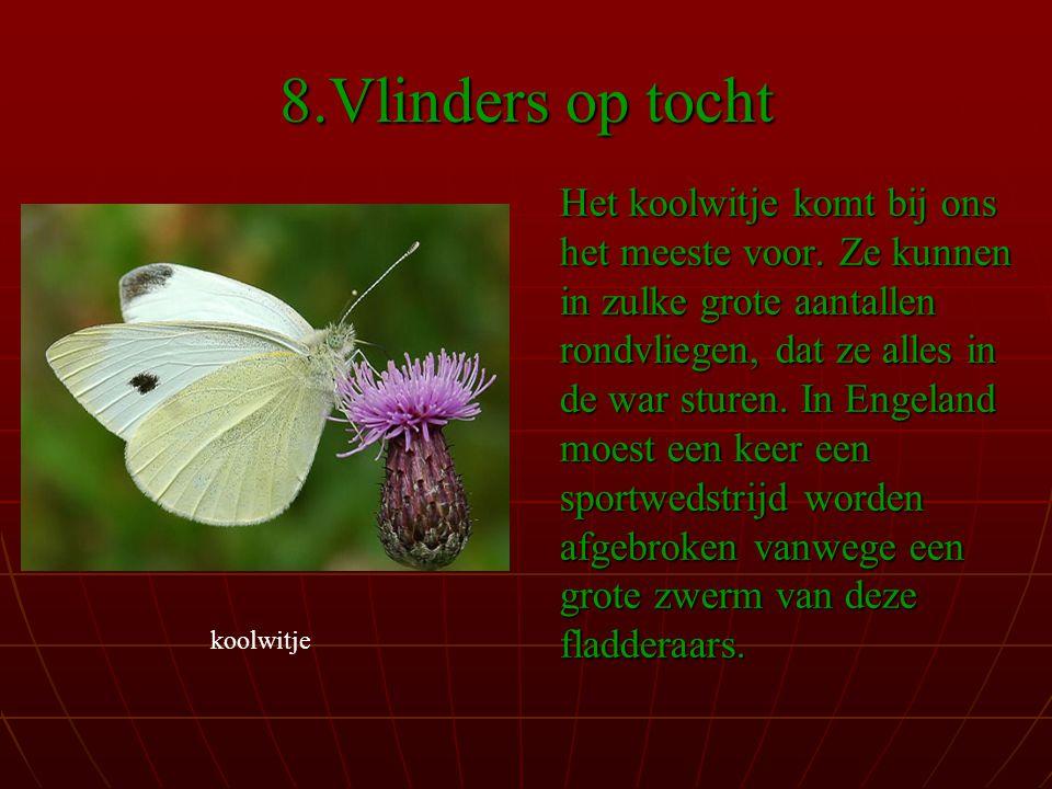 8.Vlinders op tocht Het koolwitje komt bij ons het meeste voor.