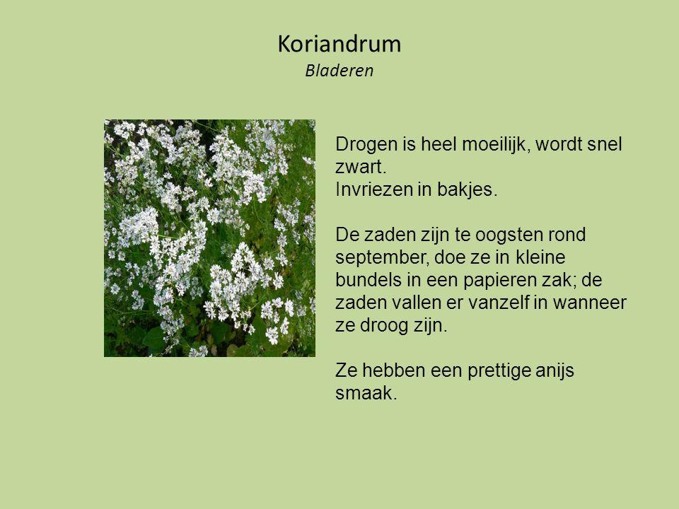 Koriandrum Bladeren Drogen is heel moeilijk, wordt snel zwart. Invriezen in bakjes. De zaden zijn te oogsten rond september, doe ze in kleine bundels