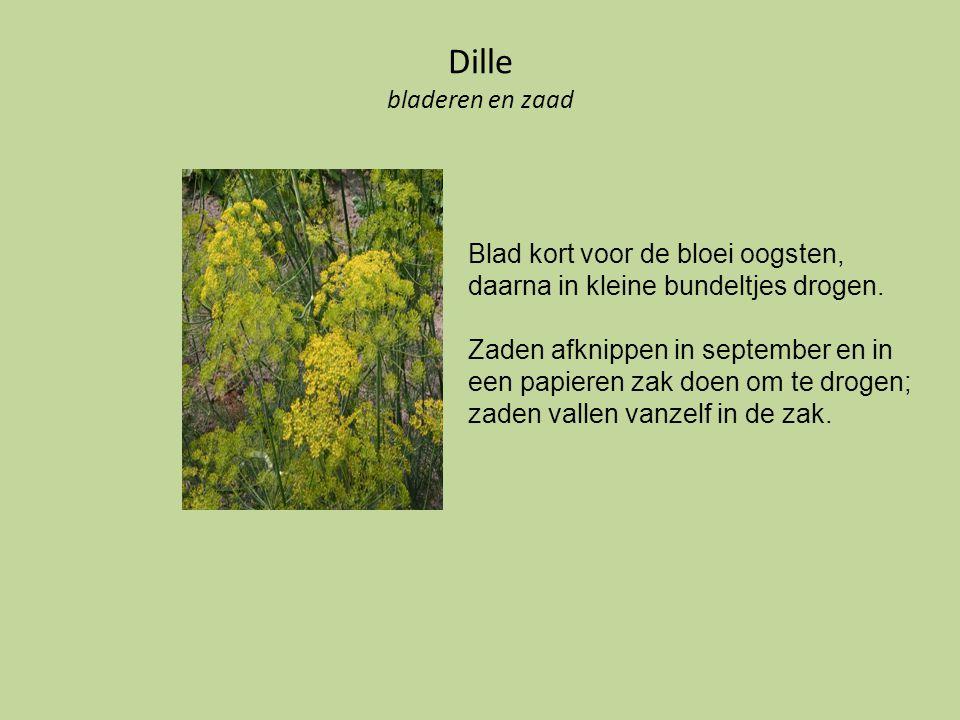 Dille bladeren en zaad Blad kort voor de bloei oogsten, daarna in kleine bundeltjes drogen. Zaden afknippen in september en in een papieren zak doen o