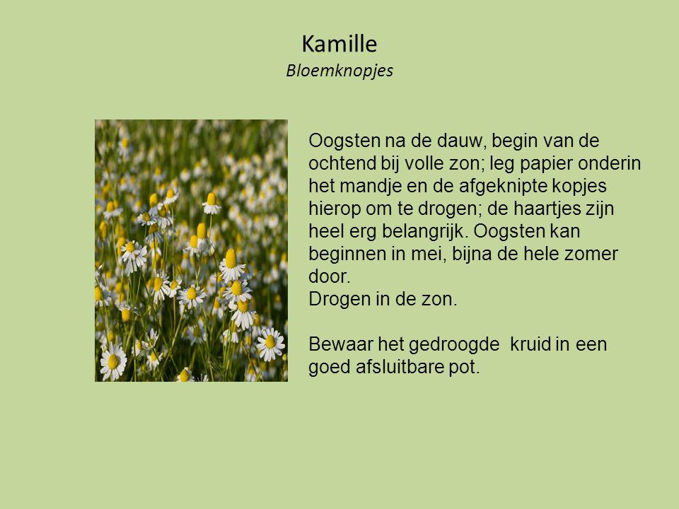 Kamille Bloemknopjes Oogsten na de dauw, begin van de ochtend bij volle zon; leg papier onderin het mandje en de afgeknipte kopjes hierop om te drogen