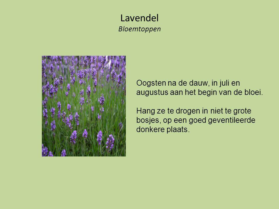 Lavendel Bloemtoppen Oogsten na de dauw, in juli en augustus aan het begin van de bloei. Hang ze te drogen in niet te grote bosjes, op een goed gevent