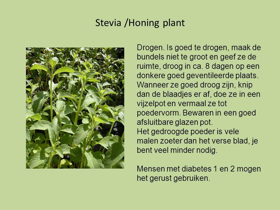 Stevia /Honing plant Drogen. Is goed te drogen, maak de bundels niet te groot en geef ze de ruimte, droog in ca. 8 dagen op een donkere goed geventile