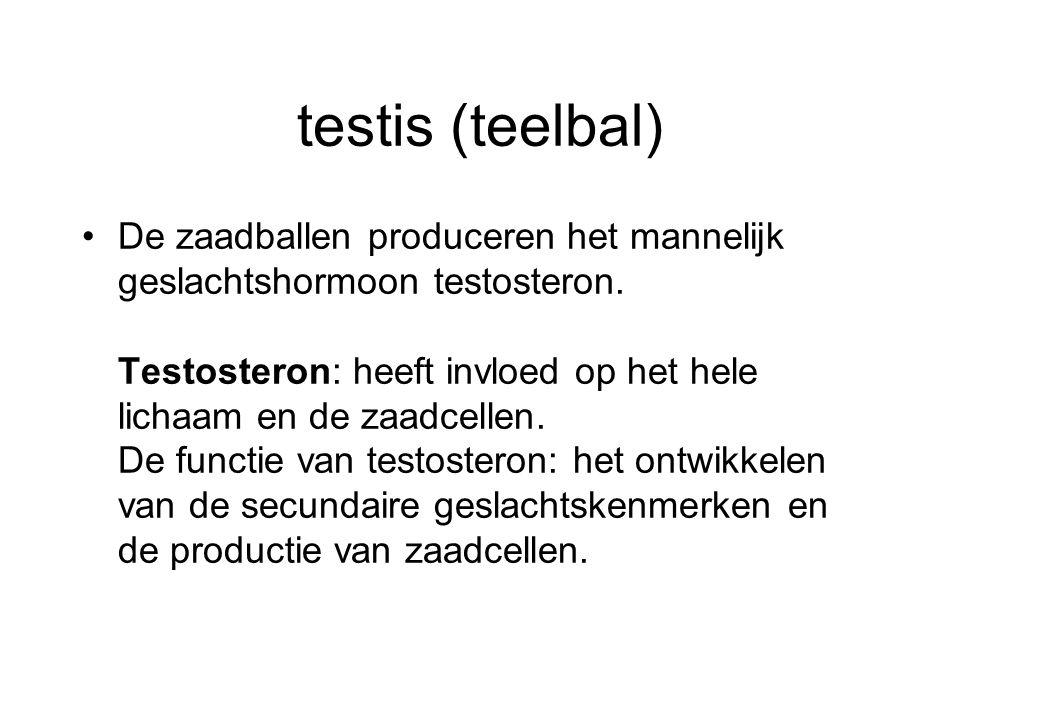 testis (teelbal) De zaadballen produceren het mannelijk geslachtshormoon testosteron.