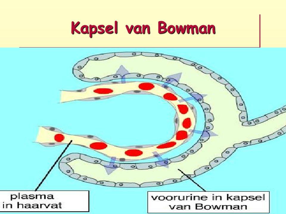 Kapsel van Bowman