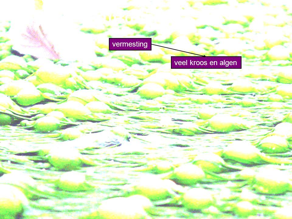 vermesting veel kroos en algen groene kleur (waterbloei) Eutrofiëring