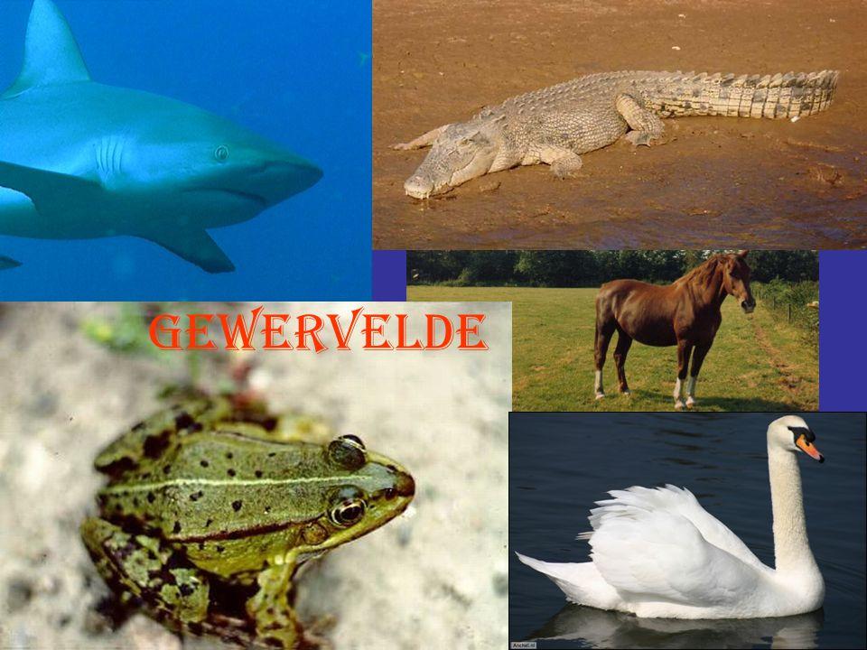 Kwallen Milieu: In het water Stevigheid: Geen skelet Voortbeweging: Drijven Huid: zacht, tentakels verdovend