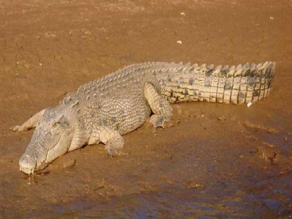 Reptielen Milieu: Op land en in het water Stevigheid: Inwendig skelet van been, met wervelkolom Voorbeweging: Met 4 poten, soms slingerend Huid: droge schubben