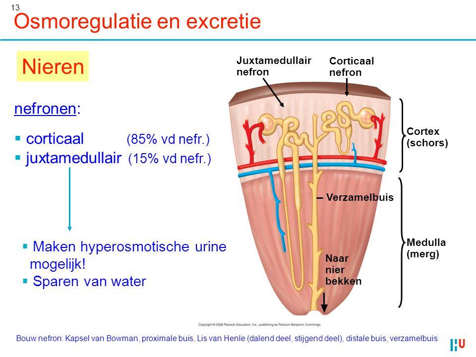 13 Osmoregulatie en excretie Nieren Corticaal nefron Juxtamedullair nefron Verzamelbuis Naar nier bekken Medulla (merg) Cortex (schors) nefronen:  co
