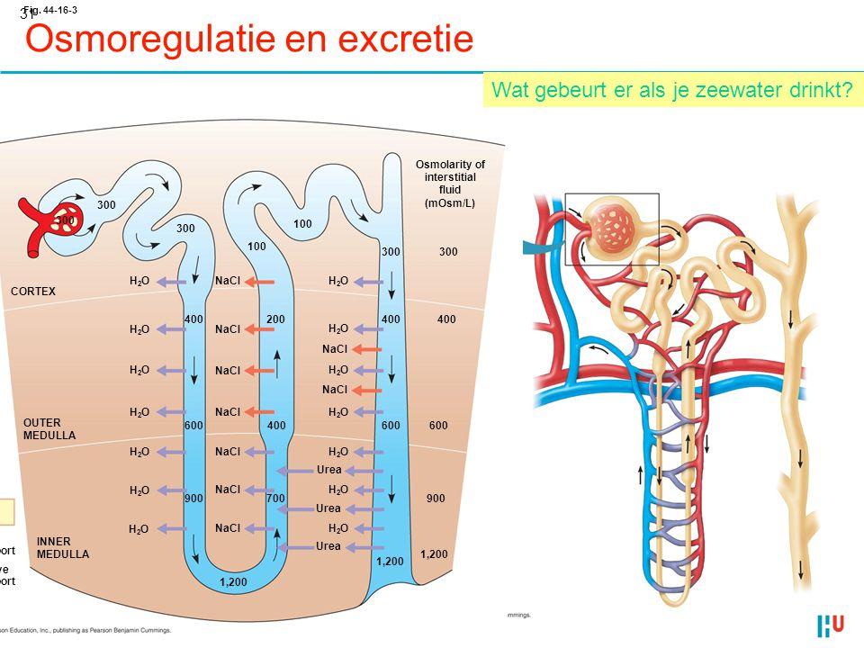 31 Osmoregulatie en excretie Fig. 44-16-3 Key Active transport Passive transport INNER MEDULLA OUTER MEDULLA CORTEX H2OH2O 300 H2OH2O H2OH2O H2OH2O 40