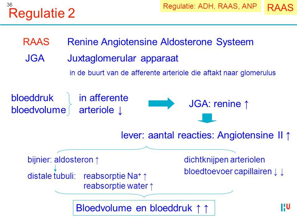 36 Regulatie 2 RAASRenine Angiotensine Aldosterone Systeem JGAJuxtaglomerular apparaat in de buurt van de afferente arteriole die aftakt naar glomerul