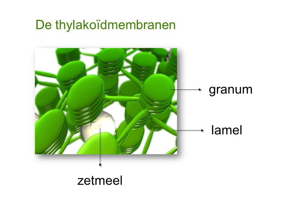 De thylakoïdmembranen granum lamel zetmeel