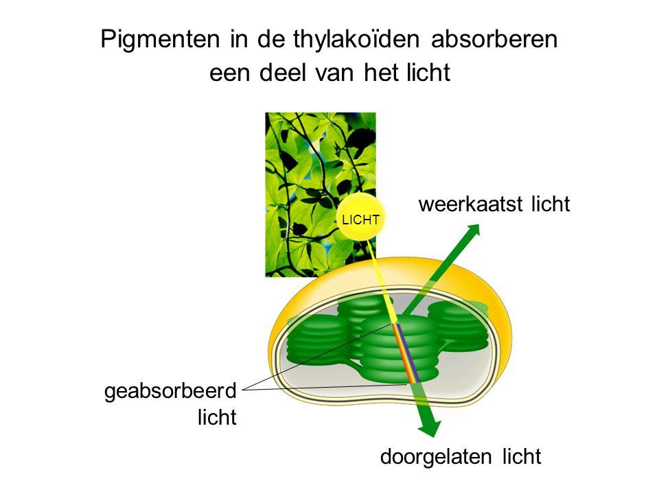 Pigmenten in de thylakoïden absorberen een deel van het licht LICHT weerkaatst licht doorgelaten licht geabsorbeerd licht
