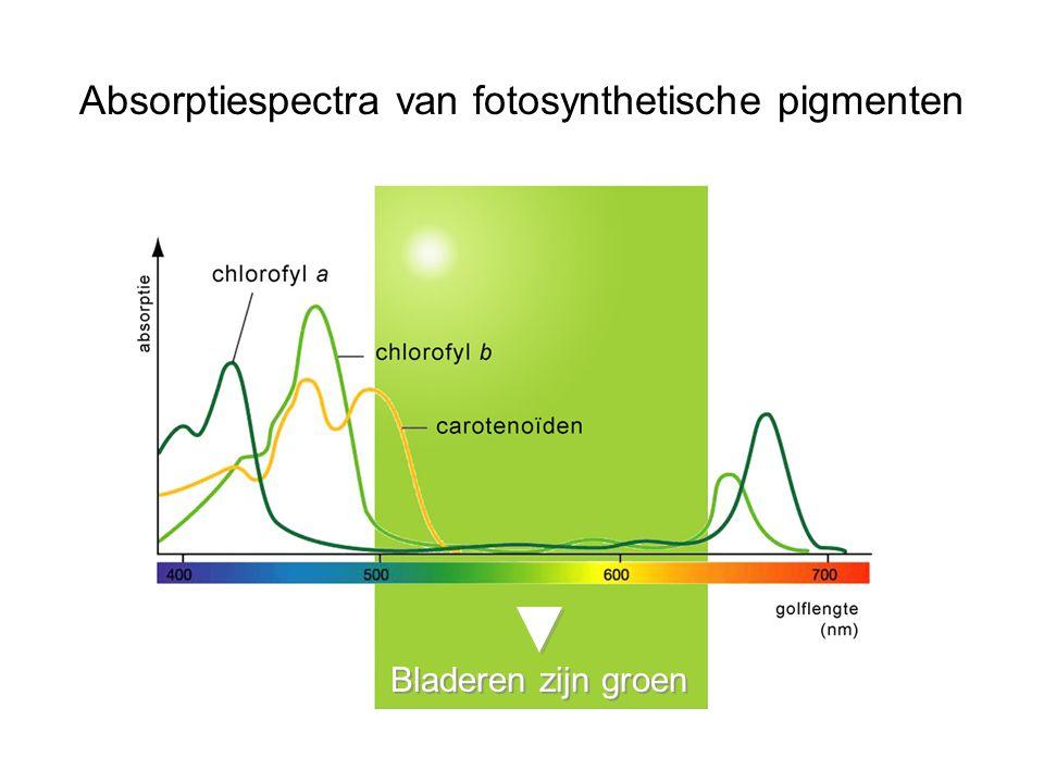 Absorptiespectra van fotosynthetische pigmenten Bladeren zijn groen