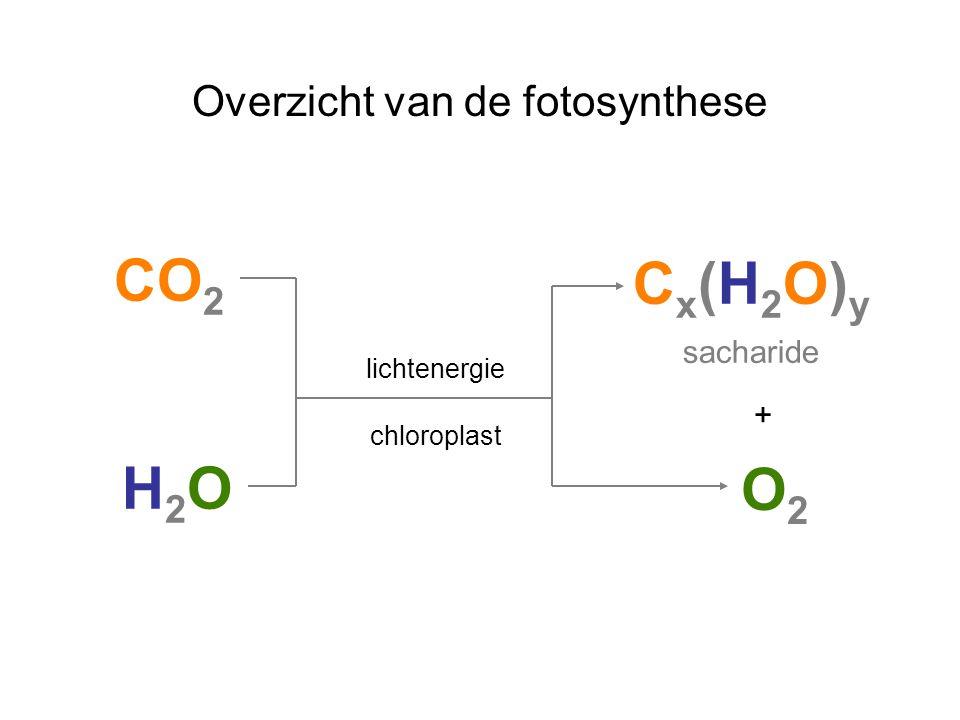 Overzicht van de fotosynthese C x (H 2 O) y sacharide CO 2 H2OH2O + O2O2 lichtenergie chloroplast