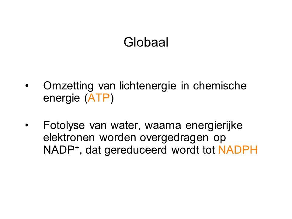 Omzetting van lichtenergie in chemische energie (ATP) Fotolyse van water, waarna energierijke elektronen worden overgedragen op NADP +, dat gereduceer