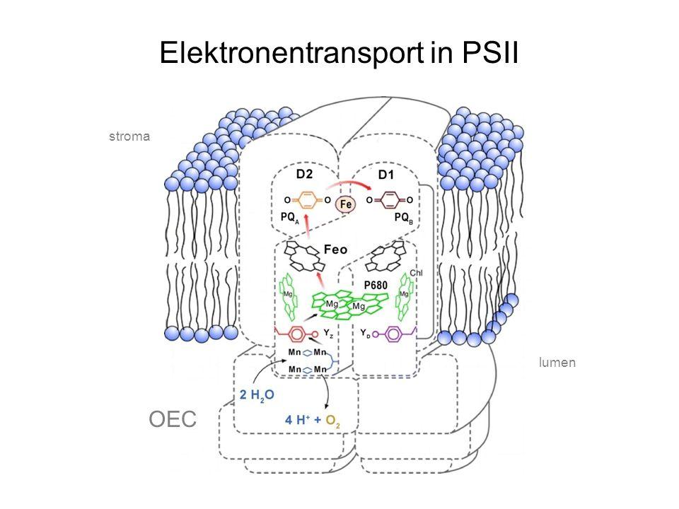 Elektronentransport in PSII OEC lumen stroma