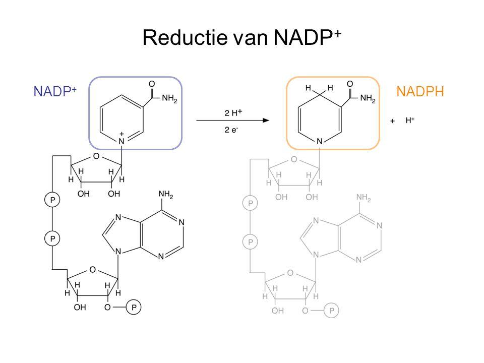 Reductie van NADP + NADP + NADPH