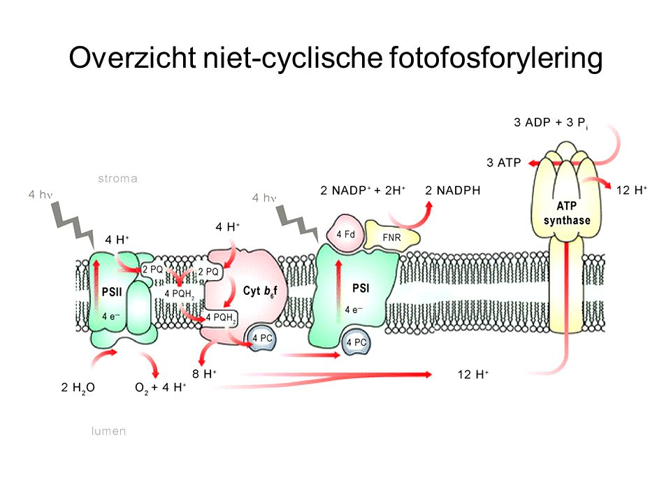 Overzicht niet-cyclische fotofosforylering