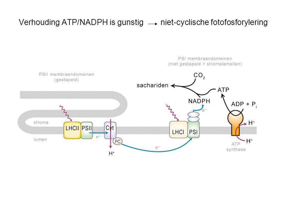 Verhouding ATP/NADPH is gunstig niet-cyclische fotofosforylering
