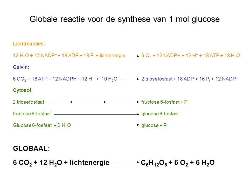 Globale reactie voor de synthese van 1 mol glucose Lichtreacties: 12 H 2 O + 12 NADP + + 18 ADP + 18 P i + lichtenergie 6 O 2 + 12 NADPH + 12 H + + 18